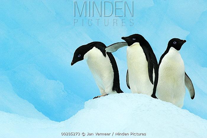 Adelie Penguin (Pygoscelis adeliae) trio on ice, Antarctica  -  Jan Vermeer