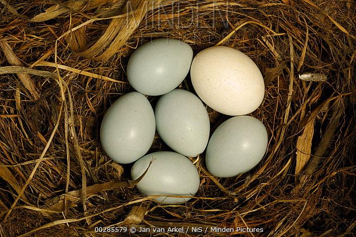 Common Cuckoo (Cuculus canorus) and Dunnock (Prunella modularis) eggs in nest, Netherlands