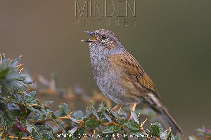 Dunnock (Prunella modularis) singing, Workum, Netherlands  -  Martin Woike/ NiS