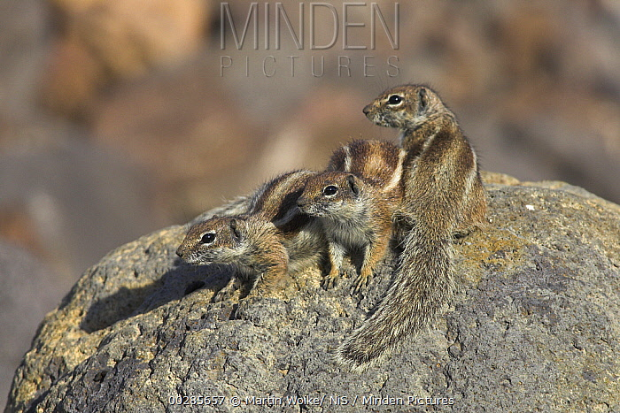 Barbary Ground Squirrel (Atlantoxerus getulus) trio, Fuerteventura, Spain  -  Martin Woike/ NiS