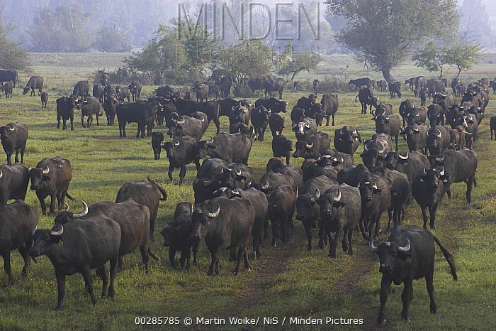 Water Buffalo (Bubalus arnee) domesticated herd, Lake Kerkini, Greece  -  Martin Woike/ NiS