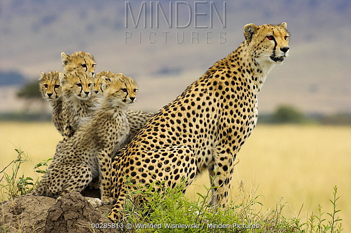 Cheetah (Acinonyx jubatus) mother with five cubs on a termite mound, Masai Mara National Reserve, Kenya  -  Winfried Wisniewski