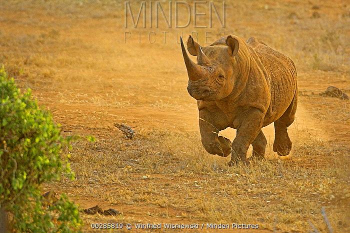 Black Rhinoceros (Diceros bicornis) running, Tsavo East National Park, Kenya  -  Winfried Wisniewski