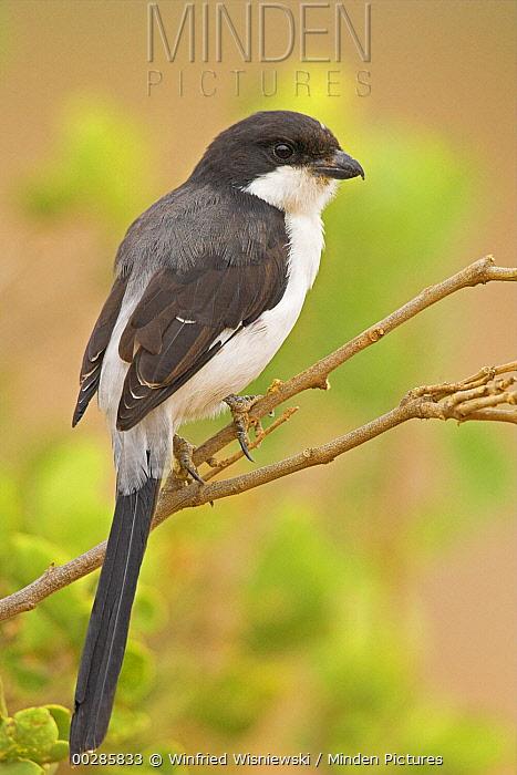 Teita Fiscal (Lanius dorsalis) on branch, Samburu-Isiolo Game Reserve, Kenya  -  Winfried Wisniewski