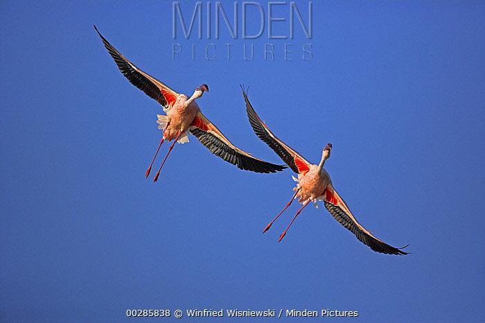 Lesser Flamingo (Phoenicopterus minor) pair flying, Lake Nakuru National Park, Kenya  -  Winfried Wisniewski