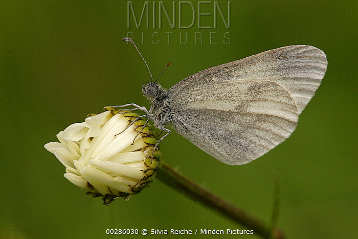 Wood White (Leptidea sinapis) butterfly on Common Daisy (Bellis perennis), Germany  -  Silvia Reiche
