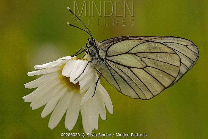 Black-veined White (Aporia crataegi) butterfly on Common Daisy (Bellis perennis) flower, Germany  -  Silvia Reiche