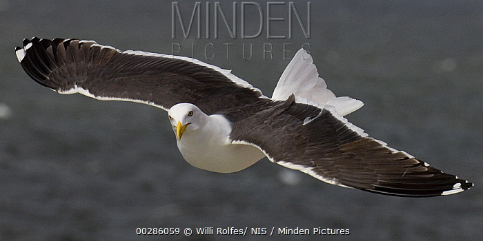 Great Black-backed Gull (Larus marinus) flying, Texel, Netherlands  -  Willi Rolfes/ NIS