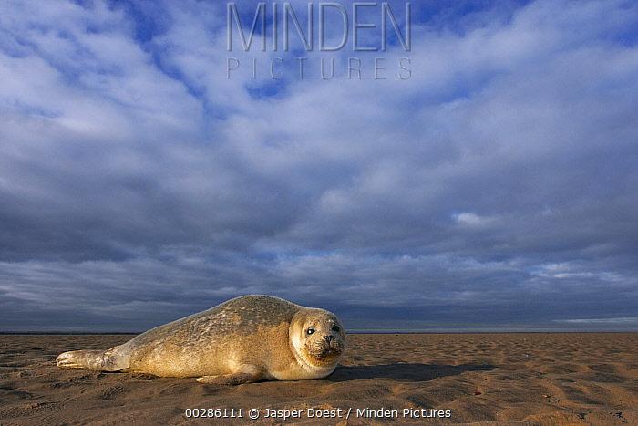 Common Seal (Phoca vitulina) on beach, Donna Nook Nature Reserve, England  -  Jasper Doest