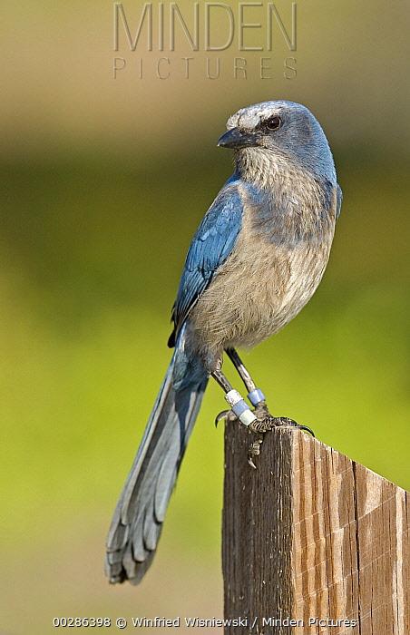 Florida Jay (Aphelocoma coerulescens) perched on pole, Florida  -  Winfried Wisniewski