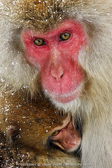 Japanese Macaque (Macaca fuscata) with baby, Jigokudani, Japan  -  Jasper Doest