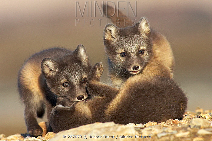 Arctic Fox (Alopex lagopus) kits playing, Svalbard, Norway  -  Jasper Doest