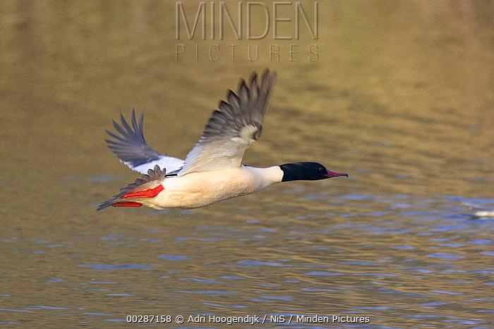 Common Merganser (Mergus merganser) male flying, Netherlands  -  Adri Hoogendijk/ Buiten-beeld
