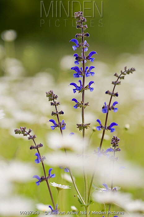 Meadow Clary (Salvia pratensis) between Marguerite (Leucanthemum vulgare), Eesveen, Netherlands  -  Jan van Arkel/ NiS