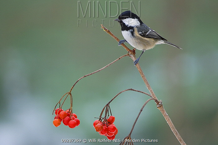 Coal Tit (Periparus ater) perching with red berries, Neuhaus im Solling, Germany  -  Willi Rolfes/ NIS