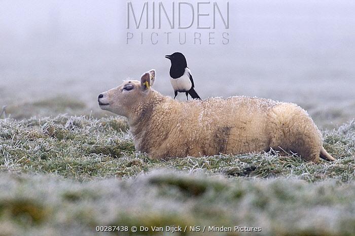 Black-billed Magpie (Pica pica) on a Domestic Sheep (Ovis aries), Schagen, Netherlands  -  Do van Dijk/ NiS