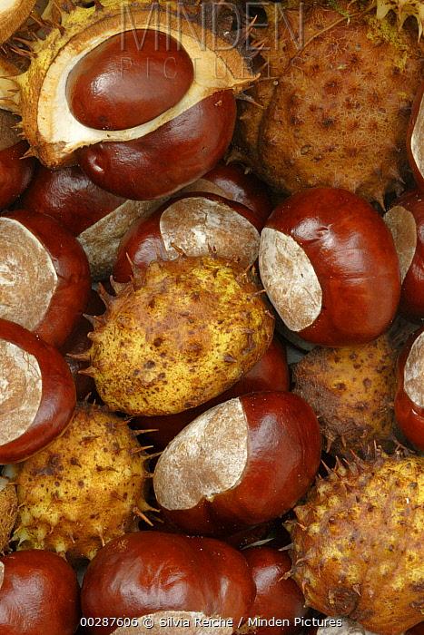 Horse Chestnut (Aesculus hippocastanum) fruit, Hoogeloon, Netherlands  -  Silvia Reiche