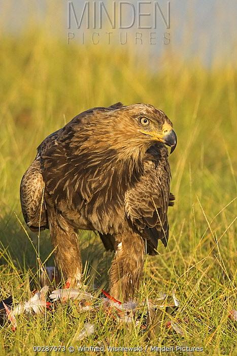 Tawny Eagle (Aquila rapax) with remains of prey, Lake Nakuru National Park, Kenya  -  Winfried Wisniewski