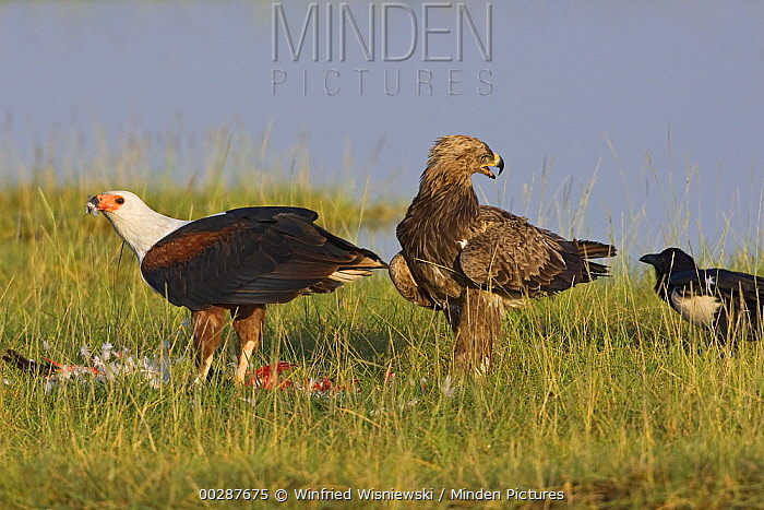 African Fish Eagle (Haliaeetus vocifer) feeding while Tawny Eagle (Aquila rapax) and crow stand by, Lake Nakuru National Park, Kenya  -  Winfried Wisniewski