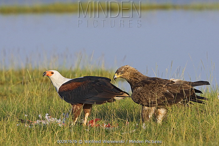 African Fish Eagle (Haliaeetus vocifer) feeding while Tawny Eagle (Aquila rapax) stands by, Lake Nakuru National Park, Kenya  -  Winfried Wisniewski
