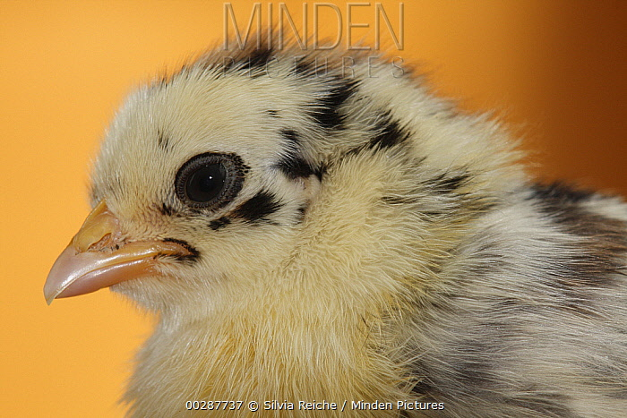 Domestic Chicken (Gallus domesticus) chick, Hoogeloon, Netherlands  -  Silvia Reiche