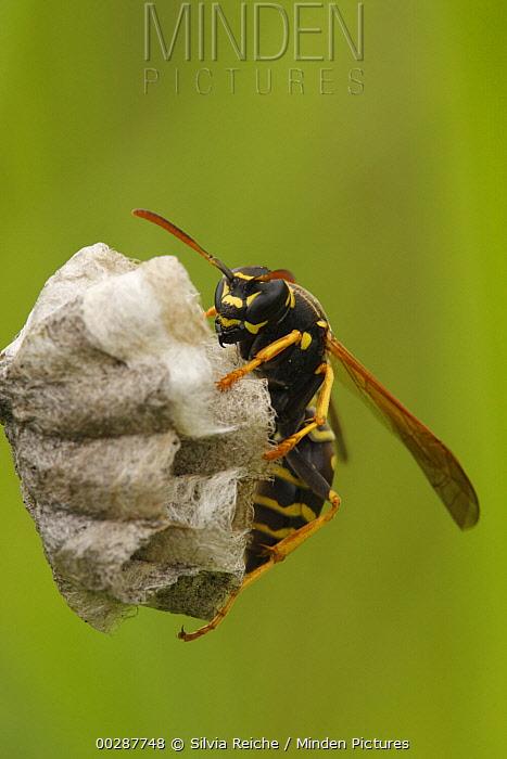 Paper Wasp (Polistes bischoffi) building a nest, Saint-Jory-las-Bloux, France  -  Silvia Reiche