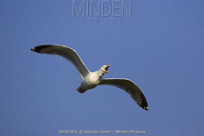 Great Black-backed Gull (Larus marinus) calling while flying, Texel, Netherlands  -  Duncan Usher