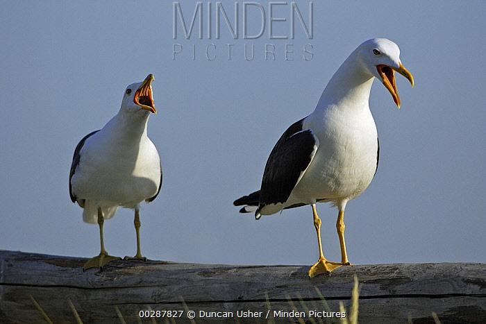 Great Black-backed Gull (Larus marinus) pair displaying on fence, Texel, Netherlands  -  Duncan Usher