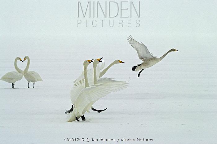 Whooper Swan (Cygnus cygnus) courting in frozen wintering areas of Hokkaido, Japan  -  Jan Vermeer