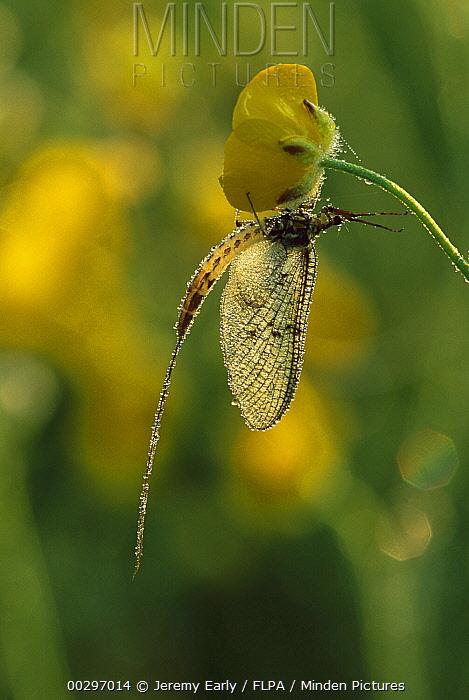 Common Burrower Mayfly (Ephemera danica) covered in dew, Europe  -  Jeremy Early/ FLPA