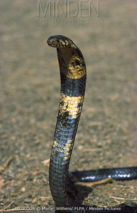 Cape Cobra (Naja nivea) with hood flared in defensive posture, Africa  -  Martin Withers/ FLPA