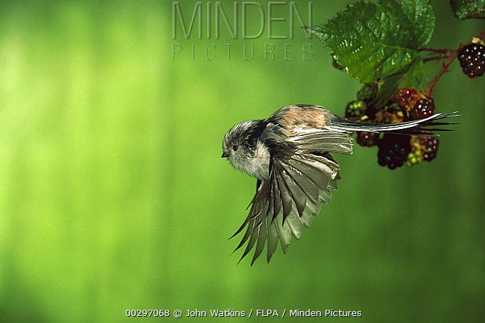 Long-tailed Tit (Aegithalos caudatus) profile flying, Europe  -  John Watkins/ FLPA