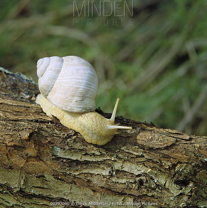 Edible Snail (Helix pomatia) on tree trunk, Europe  -  Derek Middleton/ FLPA