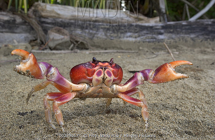 Black Land Crab (Gecarcinus ruricola) bright coloration combined with a pair of powerful claws make for a convincing threat display, Costa Rica  -  Piotr Naskrecki