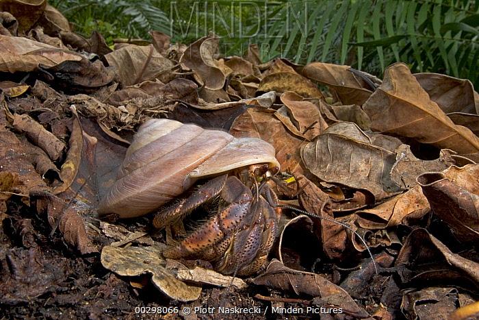 Land Snail (Caracolus sp) shell carried by Whitespotted Hermit (Dardanus megistos), Caribbean  -  Piotr Naskrecki