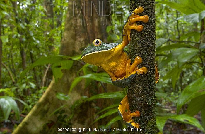 Splendid Leaf Frog (Agalychnis calcarifer) a rarely seen species associated with natural forest gaps, Costa Rica  -  Piotr Naskrecki