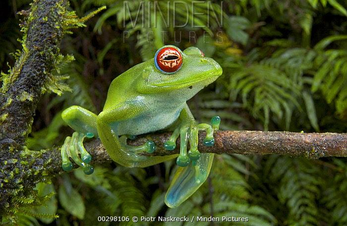 Malagasy Web-footed Frog (Boophis luteus) clinging to limb, Madagascar  -  Piotr Naskrecki