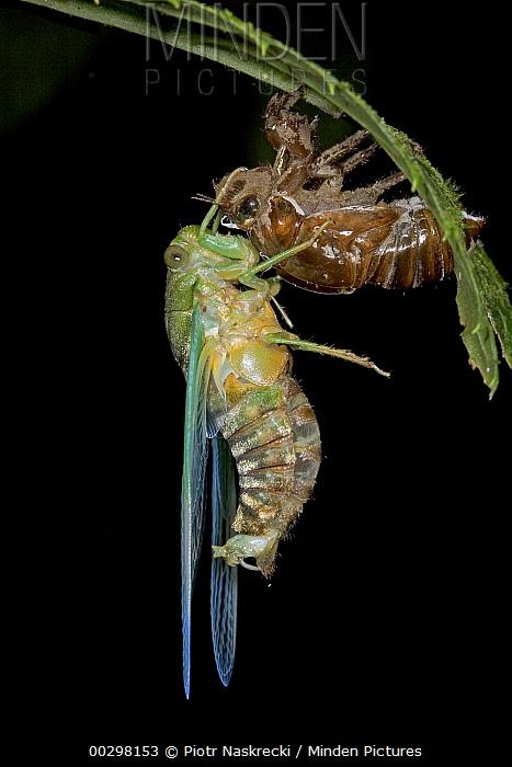 Emerald Cicada (Zamara smaragdina) male completes its final molt, Costa Rica  -  Piotr Naskrecki