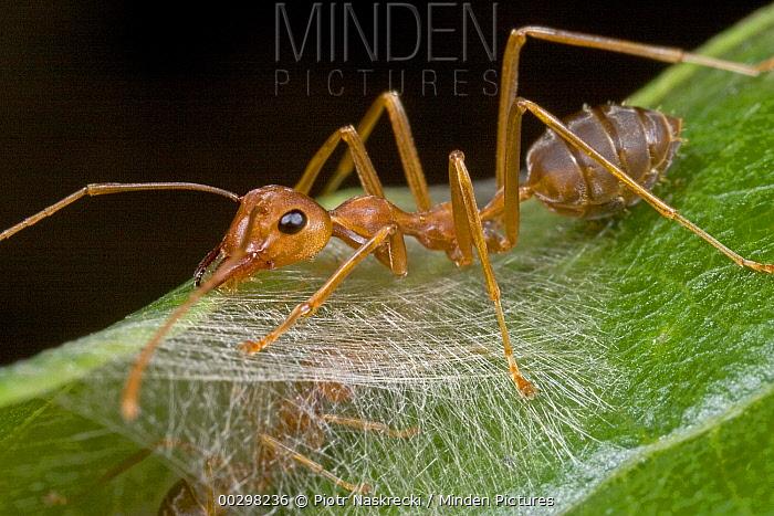 Weaver Ant (Oecophylla longinoda) worker ant on silk glue holding nest together, Guinea, West Africa  -  Piotr Naskrecki
