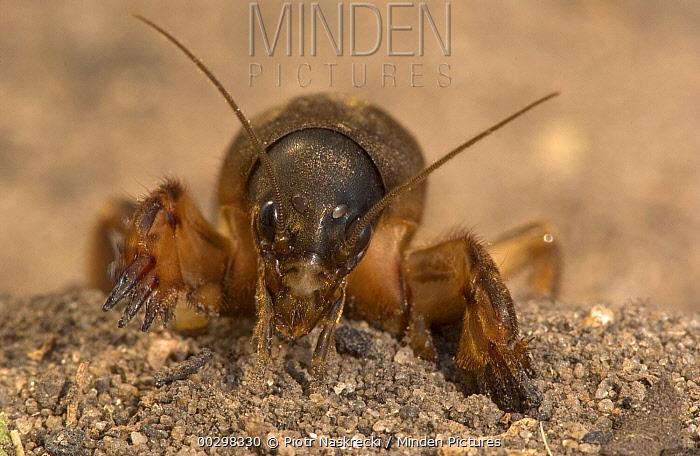 African Mole Cricket (Gryllotalpa africana) close-up, front view, Botswana  -  Piotr Naskrecki