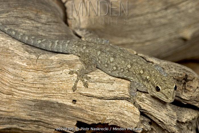 Moreau's Tropical House Gecko (Hemidactylus mabouia) found living under bark of Elephant damaged Baobab, Botswana  -  Piotr Naskrecki