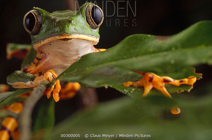 Tiger-striped Leaf Frog (Phyllomedusa tomopterna) or Barred Leaf Frog, portrait, Amazon ecosystem, Brazil  -  Claus Meyer