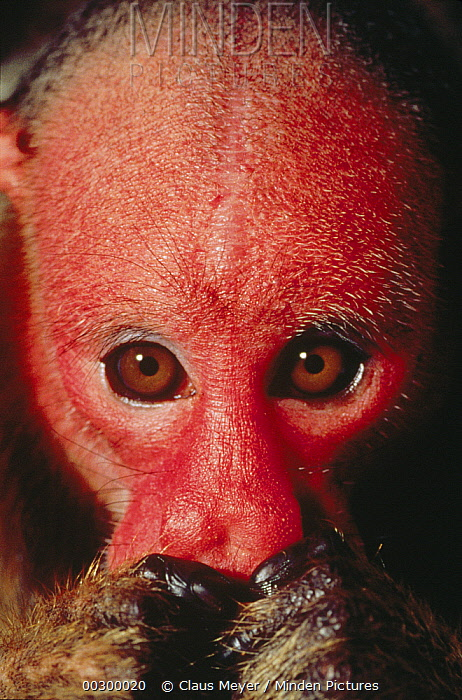 Red Uakari (Cacajao calvus) feeding on fruit, Amazon ecosystem, Brazil  -  Claus Meyer