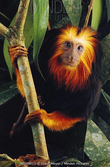 Golden-headed Lion Tamarin (Leontopithecus chrysomelas), Atlantic Forest, Brazil