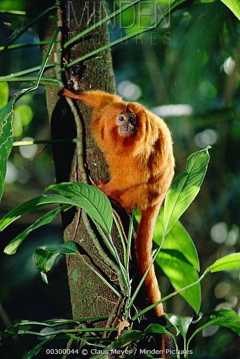Golden Lion Tamarin (Leontopithecus rosalia) portrait, Atlantic Forest ecosystem, Brazil  -  Claus Meyer