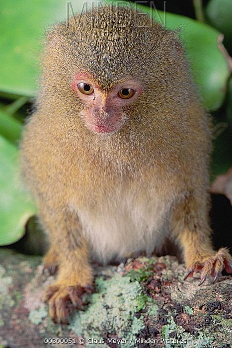 Pygmy Marmoset (Cebuella pygmaea), Amazon, Brazil  -  Claus Meyer