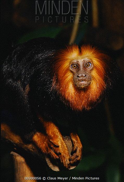 Golden-headed Lion Tamarin (Leontopithecus chrysomelas) portrait, Atlantic Forest ecosystem, Brazil  -  Claus Meyer