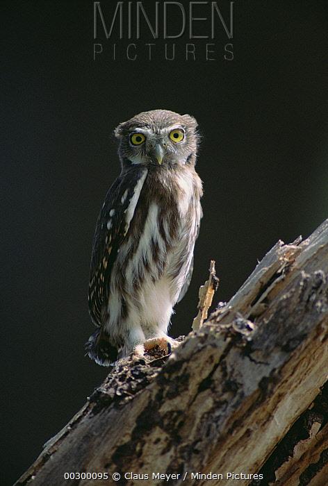 Ferruginous Pygmy Owl (Glaucidium brasilianum) portrait, Pantanal ecosystem, Brazil  -  Claus Meyer