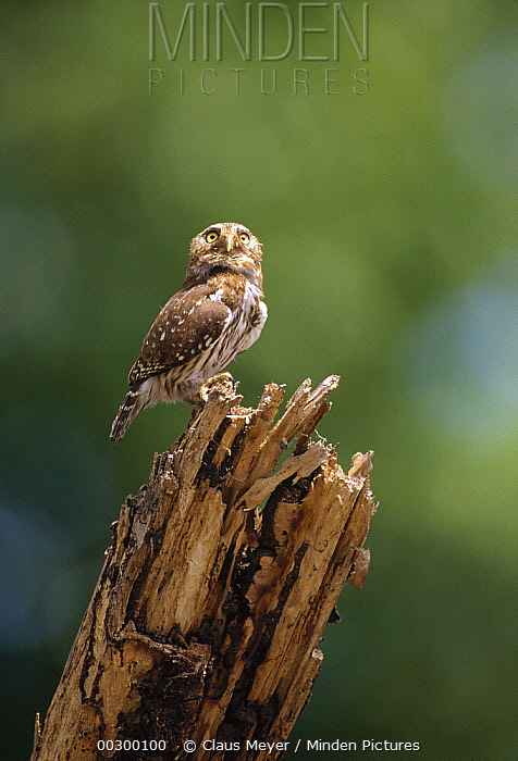 Ferruginous Pygmy Owl (Glaucidium brasilianum) perching atop snag, Caatinga ecosystem, Brazil  -  Claus Meyer