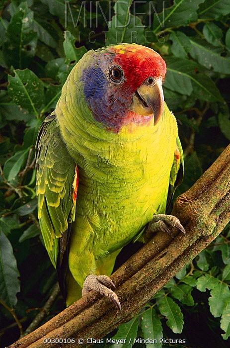 Red-tailed Amazon (Amazona brasiliensis), Atlantic Forest, Brazil